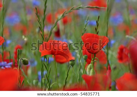 Corn poppies in a meadow - stock photo