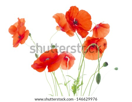 Corn Poppies with Seed Pods and Buds  (Papaver Rhoeas) - stock photo