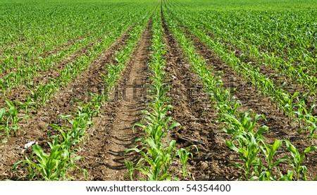 corn seedling - stock photo