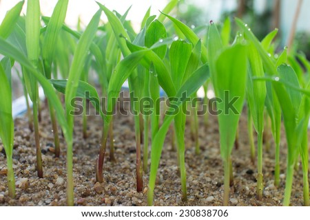 Corn seedling for germination test.  - stock photo