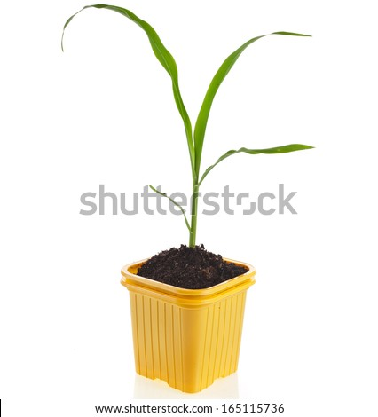 corn seedlings in a disposable yellow  plastic flowerpot isolated on white background  - stock photo