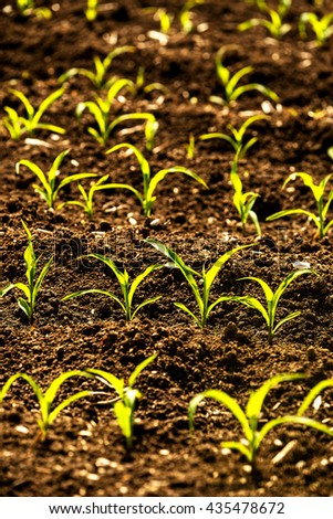 corn seedlings on a field - stock photo