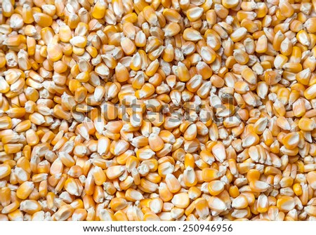 corn Seeds background - stock photo