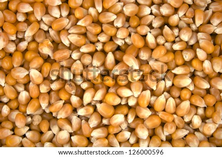 corn seeds for cooking popcorn