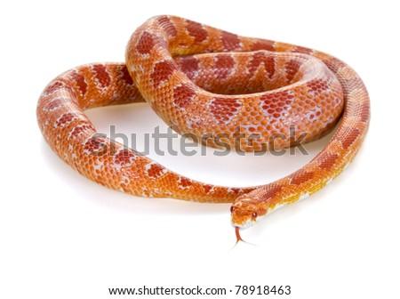 """Corn snake amelanist (albino) (Elaphe guttata """"amelanistic"""") with a protruding tongue - stock photo"""