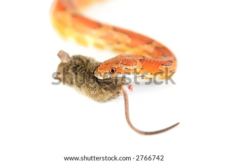 Corn Snake holding mouse in mouth - stock photo