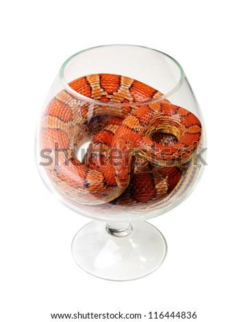Corn snake in a glass on the white background (Elaphe guttata) - stock photo