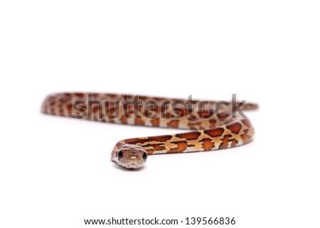 Corn Snake on a white background - stock photo