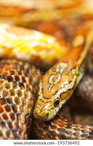 Corn Snake (Pantherophis guttatus) - stock photo
