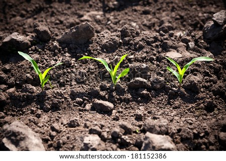 Corn sprouts - stock photo