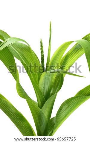 Corn stalk on white background. - stock photo