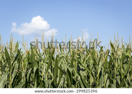 Corn Stalks against a Blue Sky