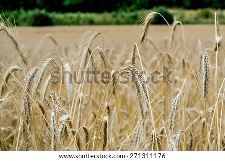 corn, wheat, field, wheat field, spike, spike, spikes, flour, landscape, countryside, barley, grain, grass - stock photo