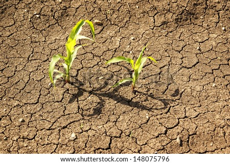 Corn, young seedling dry earth