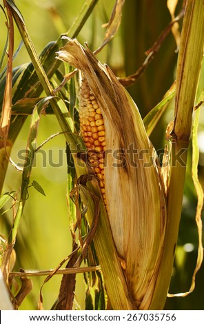 corncob closeup - stock photo