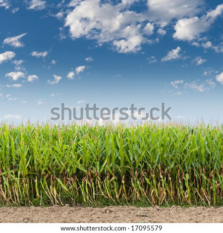 Cornfield against a blue sky - stock photo