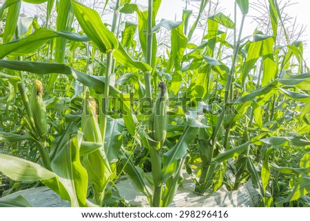 Cornfield and sunlight - stock photo