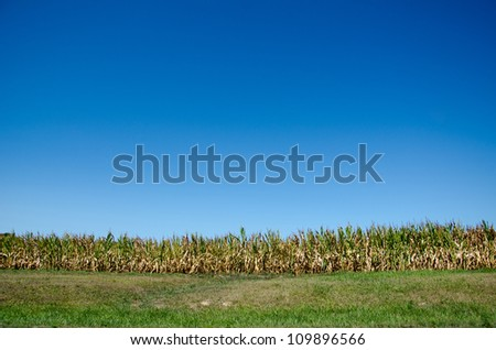 Cornfield in midwestern United States damaged by severe and extended drought - stock photo