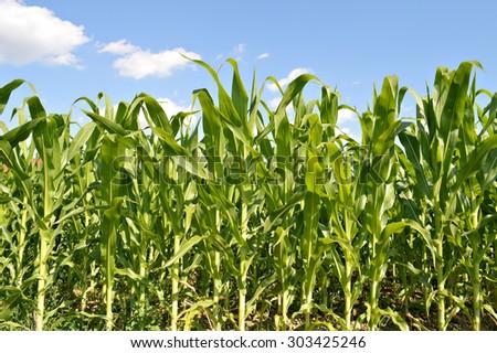 Cornfield in summer - stock photo