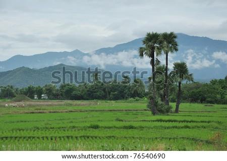 Cornfield thai - stock photo