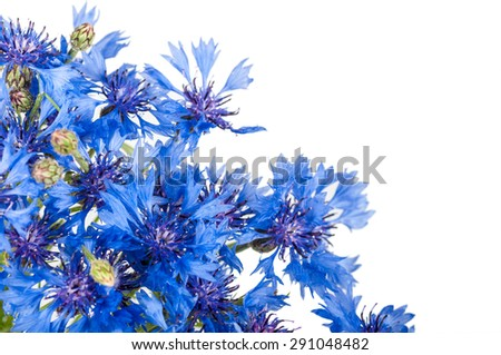 Cornflower. Bouquet of wild blue flowers. Isolated - stock photo