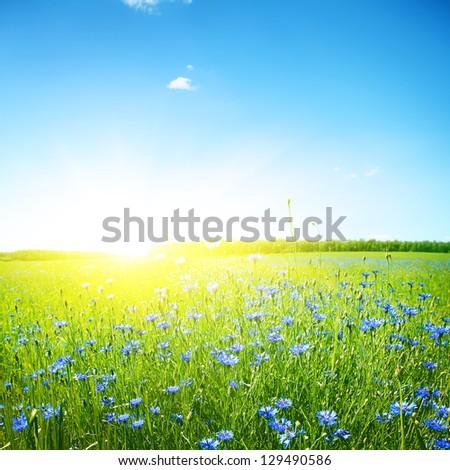 Cornflower field, clear blue sky and bright sunlight. - stock photo