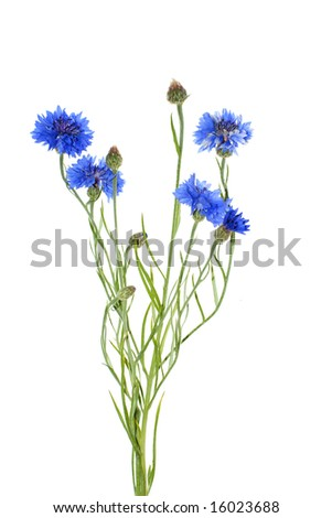 cornflower isolated on white background - stock photo