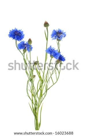 cornflower isolated on white background - stock photo