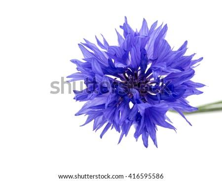 cornflowers, Isolated over white background - stock photo
