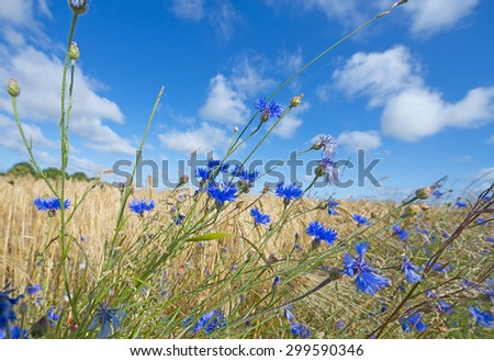 cornflowers on a field - stock photo