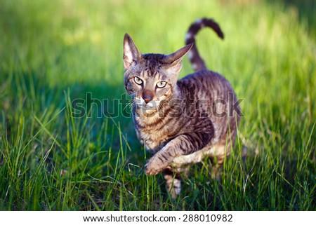 Cornish Rex cat - stock photo
