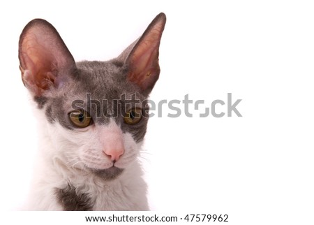 Cornish rex cat on a white background - stock photo