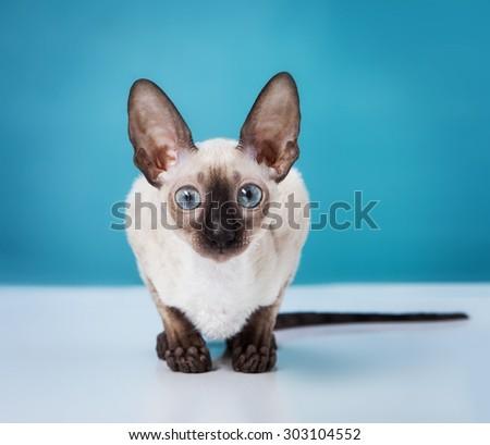 Cornish Rex kitten isolated on white background - stock photo
