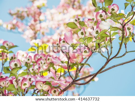 Cornus florida - Flowering dogwood - is a species of flowering plant in the family Cornaceae native to eastern North America and northern Mexico. Flowering tree. - stock photo