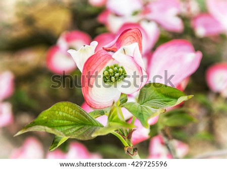 Cornus florida - Flowering dogwood - is a species of flowering plant in the family Cornaceae native to eastern North America and northern Mexico. Flowering tree. Blooming twig. Macro photo. - stock photo