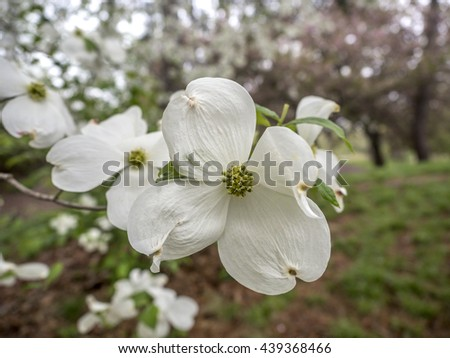 Cornus is a genus of woody plants in the family Cornaceae, commonly known as dogwoods