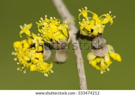Cornus mas, Cornelian cherry, European cornel, dogwood, flowering plant in the dogwood Cornaceae, native to southern Europe and middle east. - stock photo