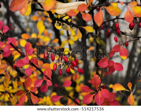 Cornus mas (Cornelian cherry, European cornel or Cornelian cherry dogwood) at autumn