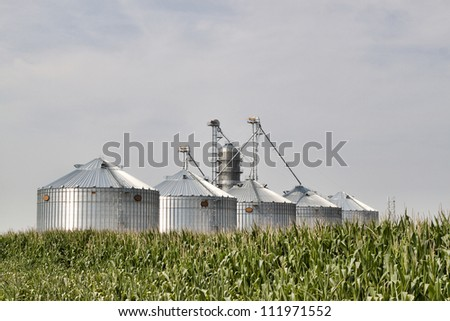 Corrugated metal silos in a field of corn. Image shows five new silos glowing in the sun with a field of corn in the foreground and shot against a blue sky. - stock photo