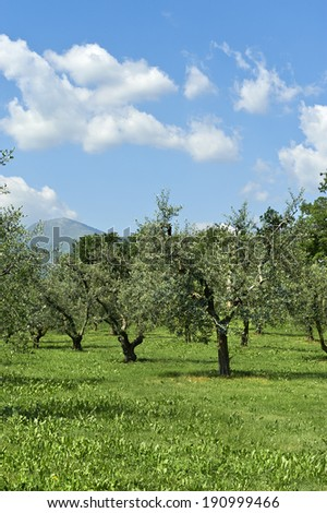 Cortefranca (Bs), Franciacorta, Italy,a cultivation of olives