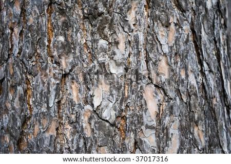 cortex of the pine - stock photo