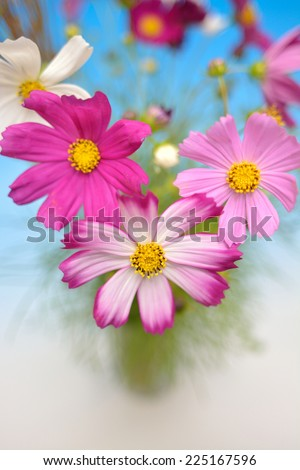 Cosmos  - stock photo