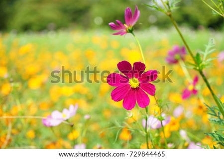 https://thumb9.shutterstock.com/display_pic_with_logo/167494286/729844465/stock-photo-cosmos-at-a-garden-in-japan-729844465.jpg
