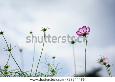 https://thumb9.shutterstock.com/display_pic_with_logo/167494286/729844495/stock-photo-cosmos-at-a-garden-in-japan-729844495.jpg