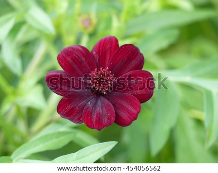 Cosmos atrosanguineus (Chocolate Cosmos) is a species of Cosmos, native to Mexico, Asteraceae family.