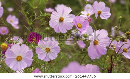 Cosmos bipinnatus - stock photo