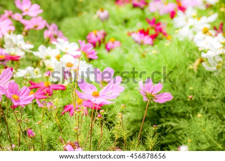 Cosmos field in the morning  - stock photo