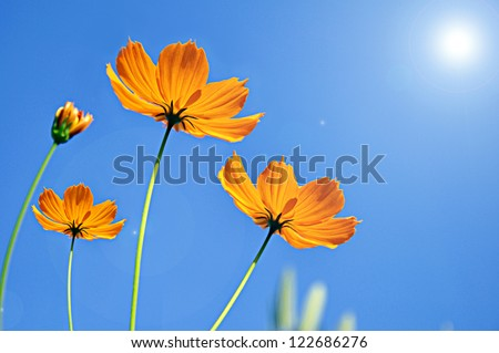 Cosmos flower against blue sky background - stock photo