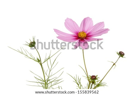 Cosmos flower and buds isolated against white - stock photo
