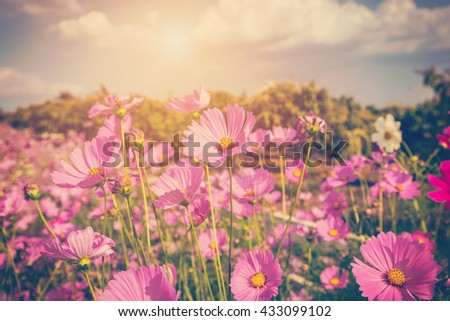 cosmos flower and sunlight with vintage tone. - stock photo